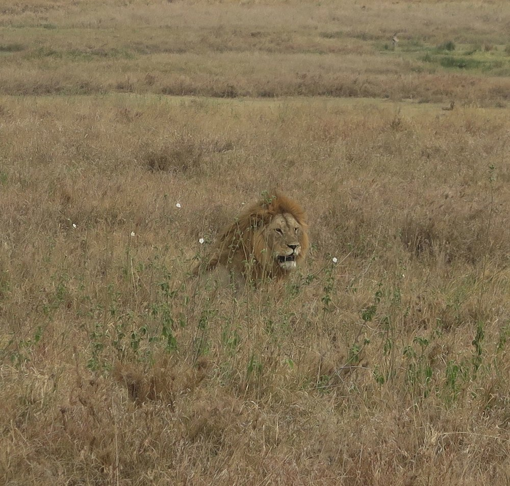 A lion in the Serengeti