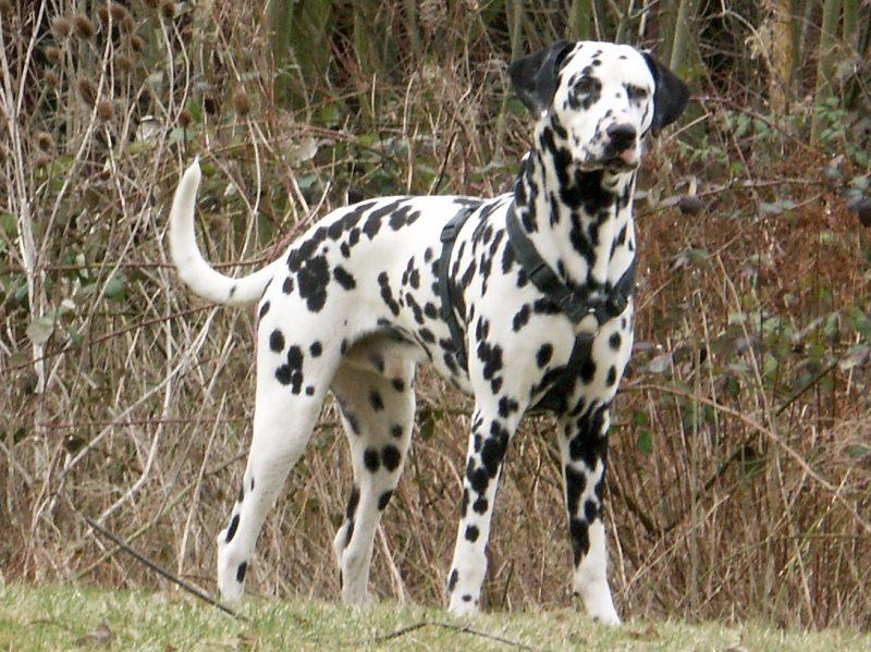 A real Dalmatian.