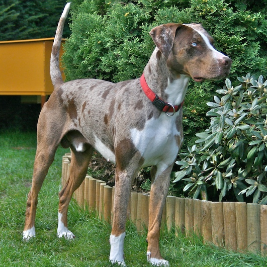 A Catahoula Leopard Dog.