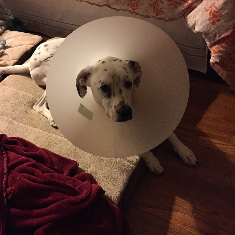 Trying to convince him to fall asleep with the cone on his head.