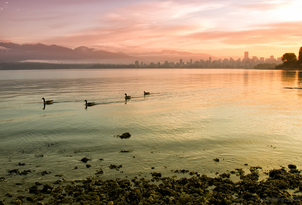 P0216-Canadian Geese of Vancouver-XLarge.jpg