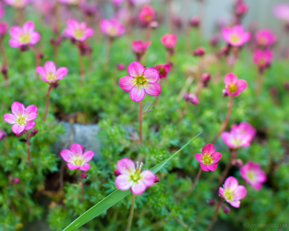 P0022-Pink Gold-XLarge.jpg