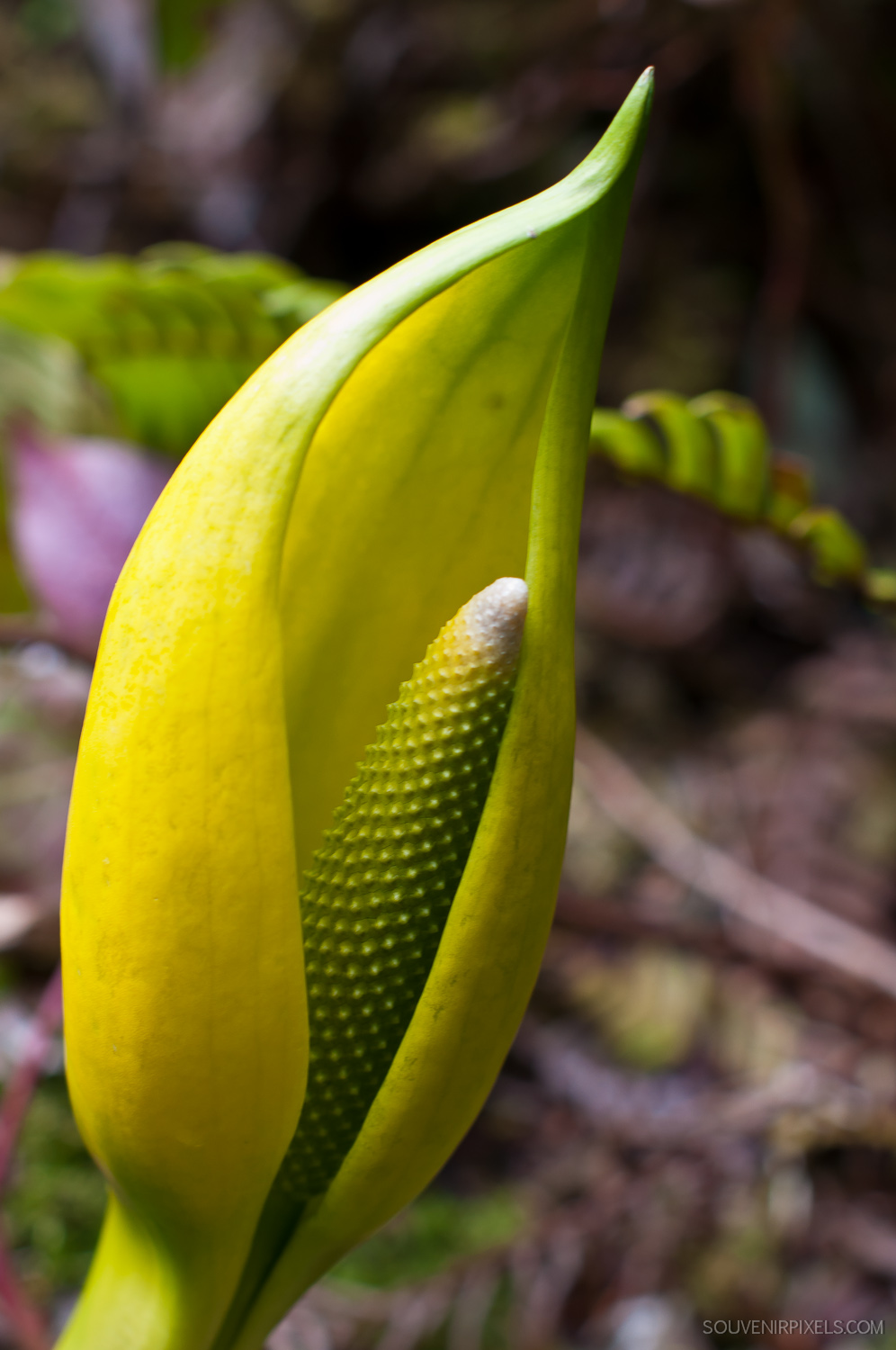 P0032-Skunk Cabbage in Spring - Willowbrae Trail-XLarge.jpg