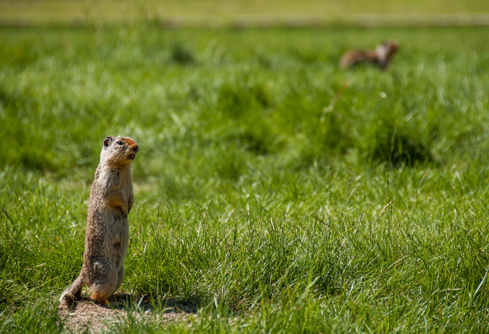 P0336-Marmot Calling Out to Other Prairie Dogs-XLarge.jpg