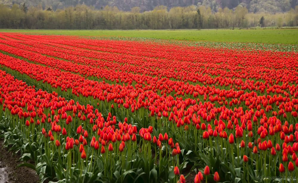 P0459-Rows of Red Tulips-XLarge.jpg