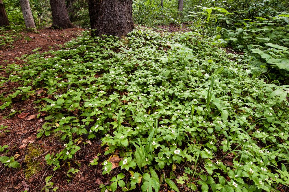 P0333-Many Bunchberries (Cornus canadensis)-XLarge.jpg