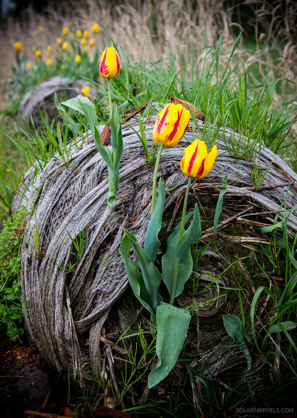 P0441-Tulip Bail-XLarge.jpg