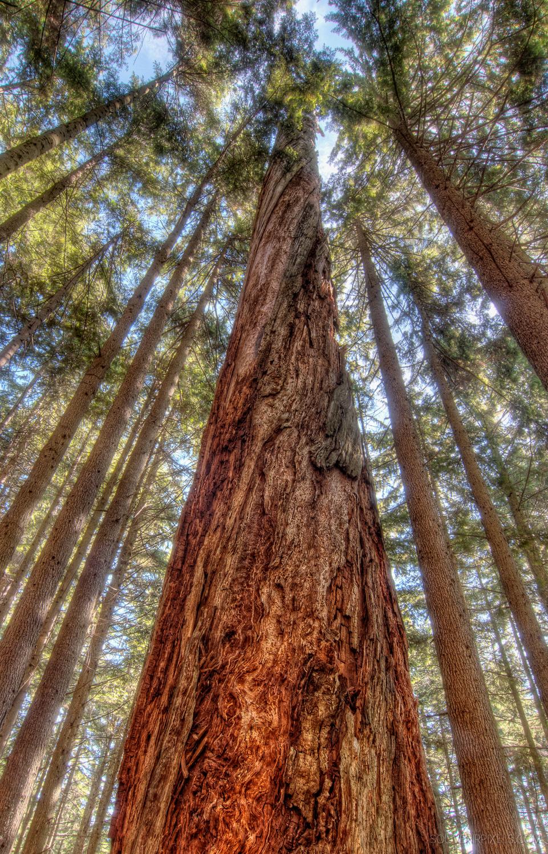 P0131-Towering Trees-XLarge.jpg