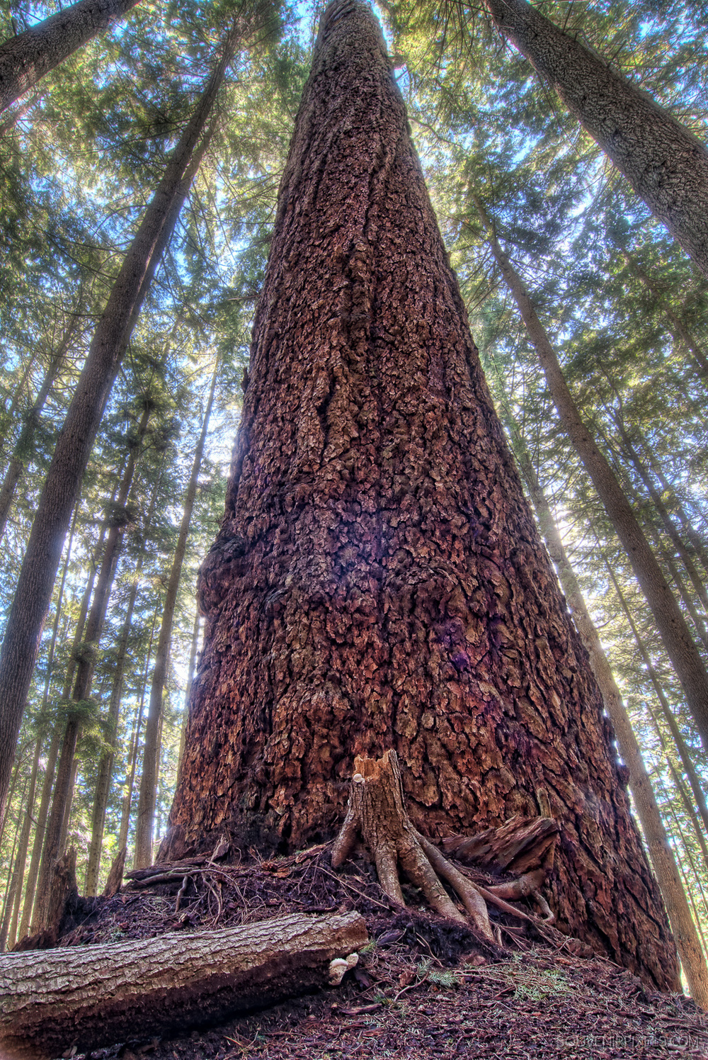 P0175-Vertical of Massive Tree in Forest-XLarge.jpg