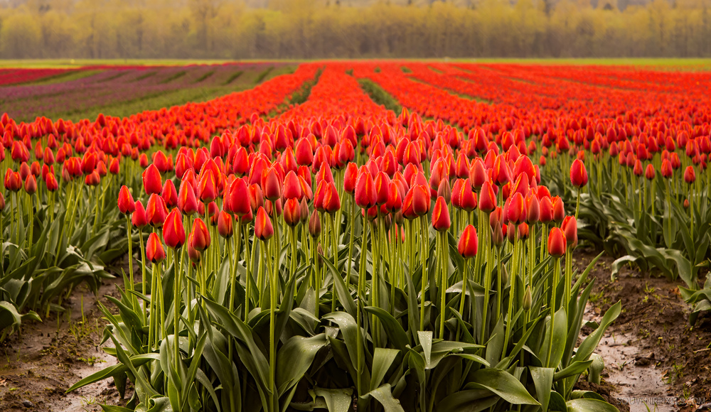 P0433-Agassiz Tulip Festival-XLarge.jpg