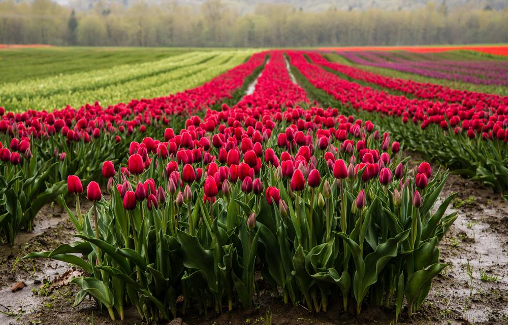 P0434-Purple Agassiz Tulips-XLarge.jpg