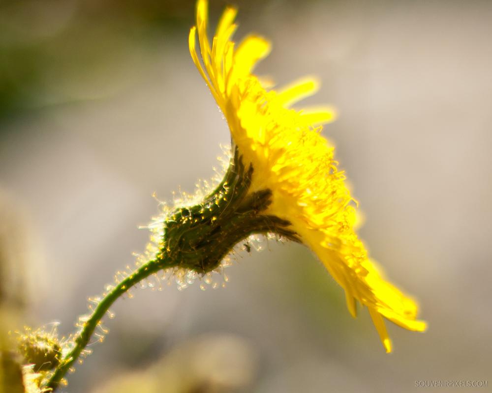 P0123-Fuzzy Flower Glow-XLarge.jpg