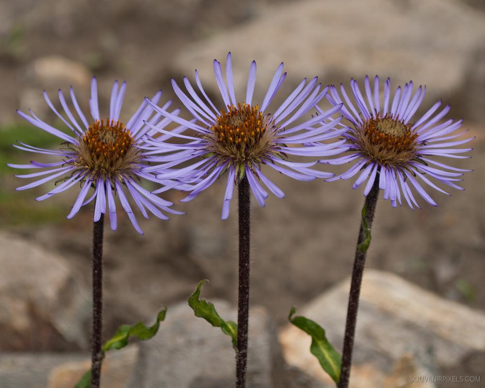P0050-Triple Flower Bloom-XLarge.jpg