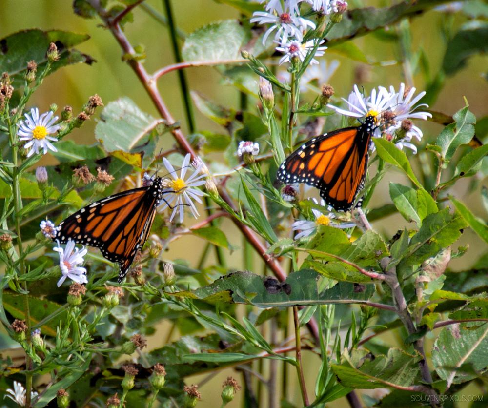 P0236-Double Butterflies-XLarge.jpg