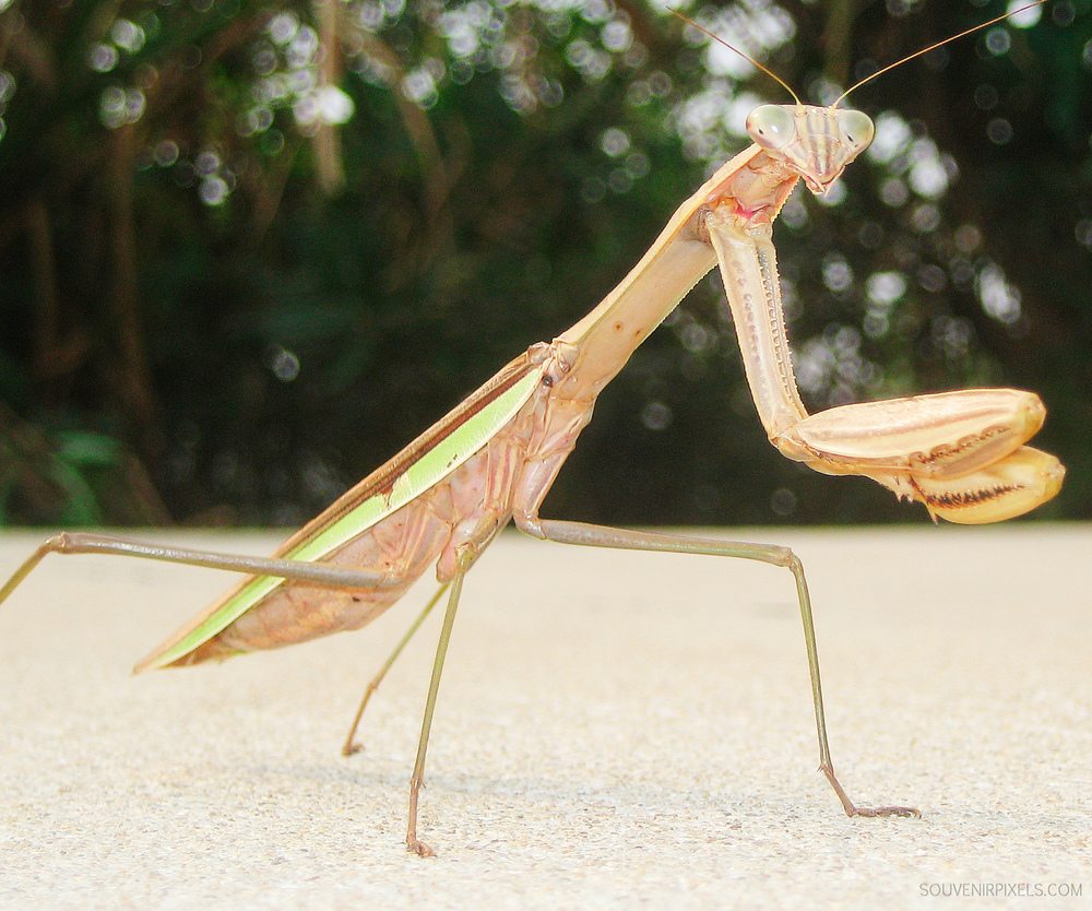 P0119-Chinese Praying Mantis-XLarge.jpg
