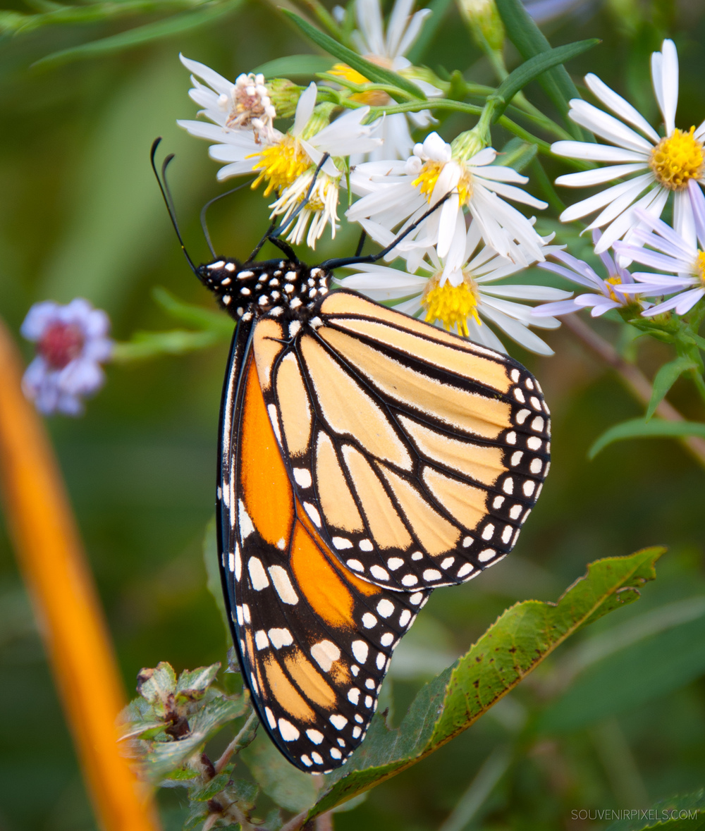 P0237-Monarch Butterfly Close Up-XLarge.jpg