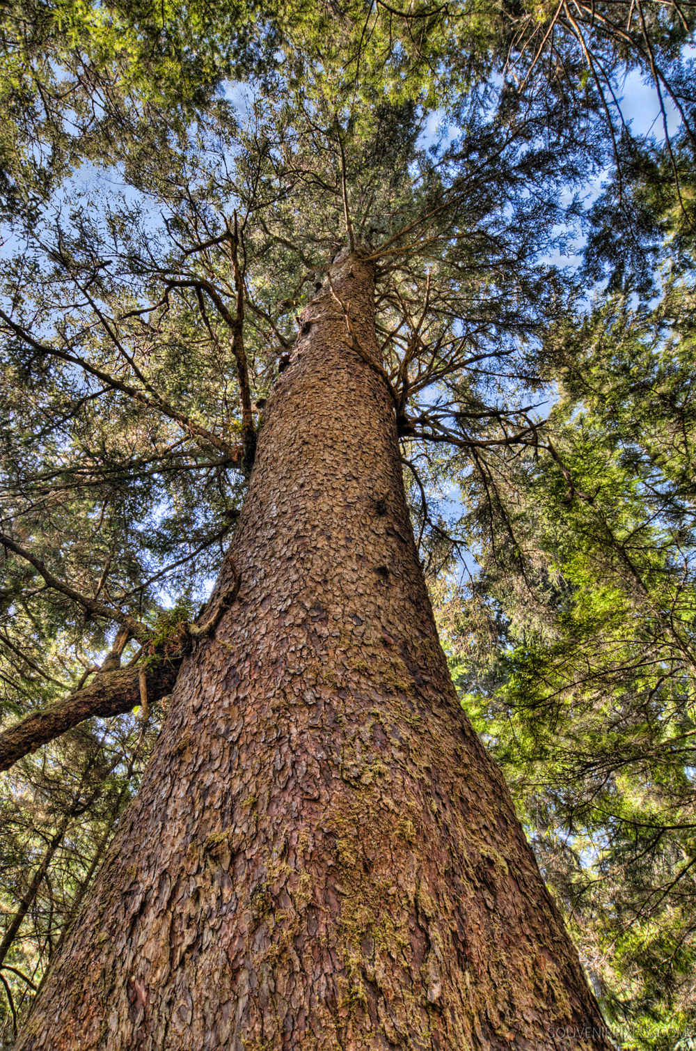 P0003-Big Tall Wood Tree-XLarge.jpg