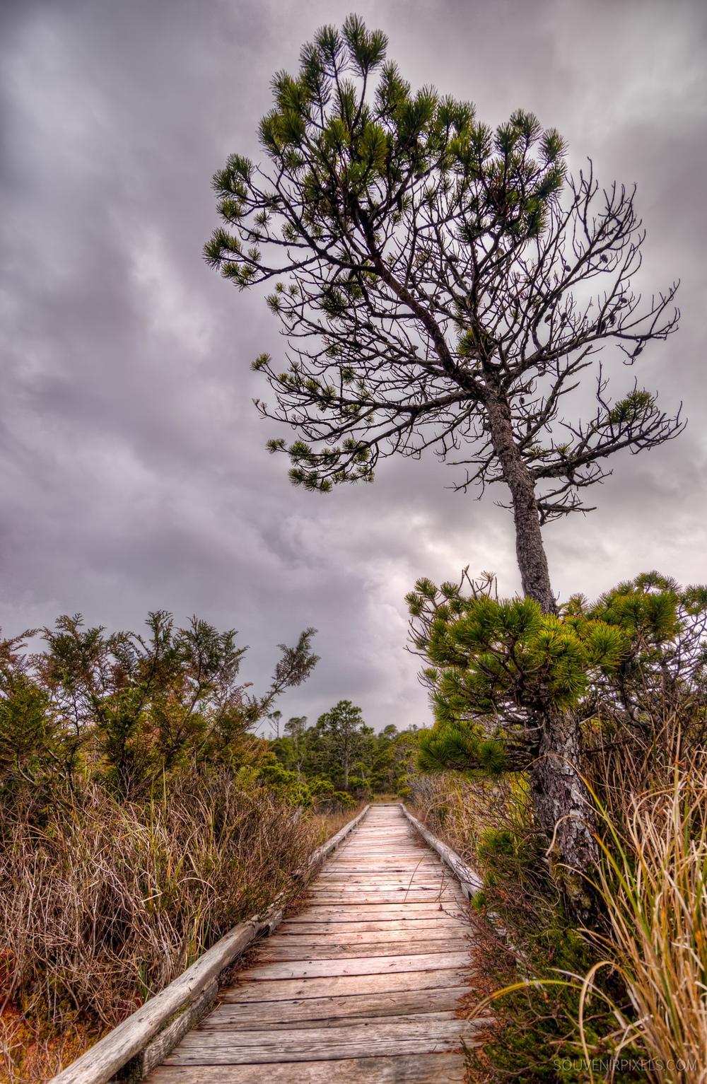 P0462-Shorepine Bog Trail-XLarge.jpg