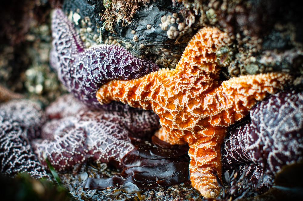 Lone Orange Starfish