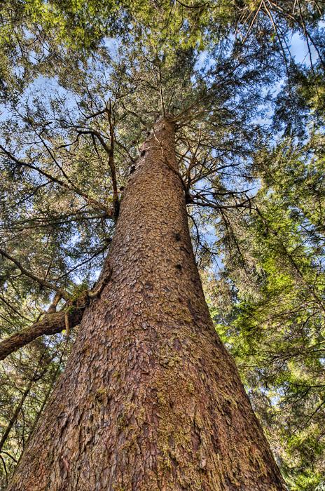 Big Tall Wood Tree