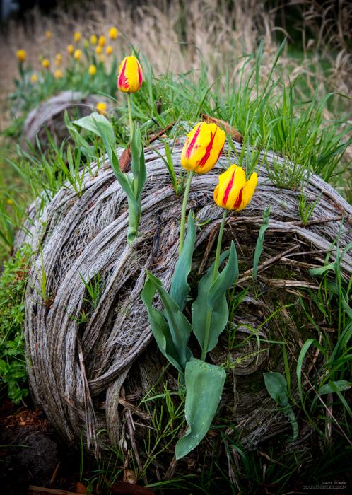 Tulip Bail