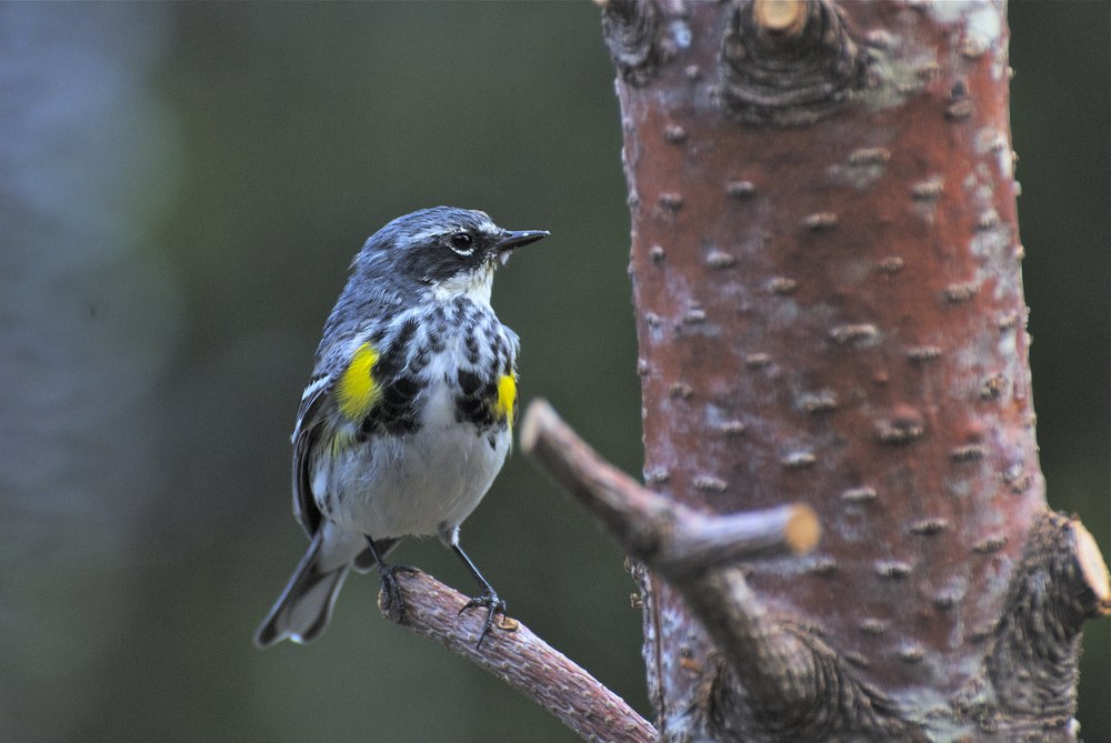 "Leaving a few small branches make great perching spots for birds such as this male Yellow-rumped Warbler to feed on suet pushed into 3/8"" holes drilled into the side of the log feeder."
