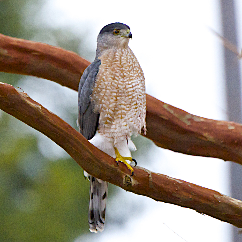 Cooper's Hawk-Male 3 - Version 2.jpg