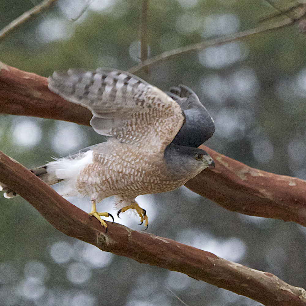Cooper's Hawk-Male 6 - Version 2.jpg
