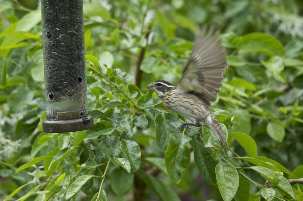Rose-breasted Grosbeak-Female