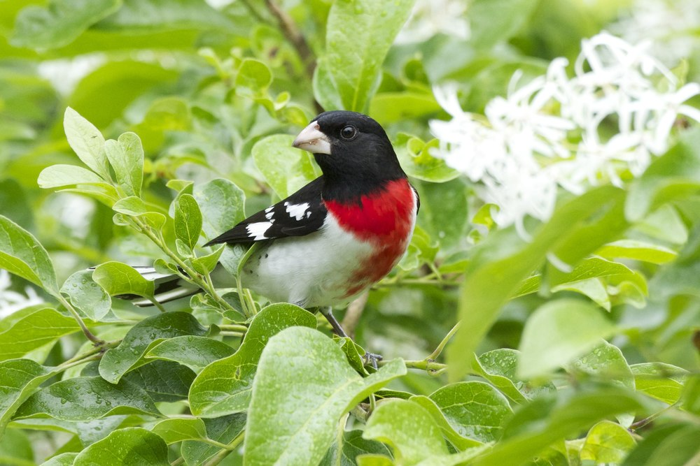 Rose-breasted Grosbeak-Male