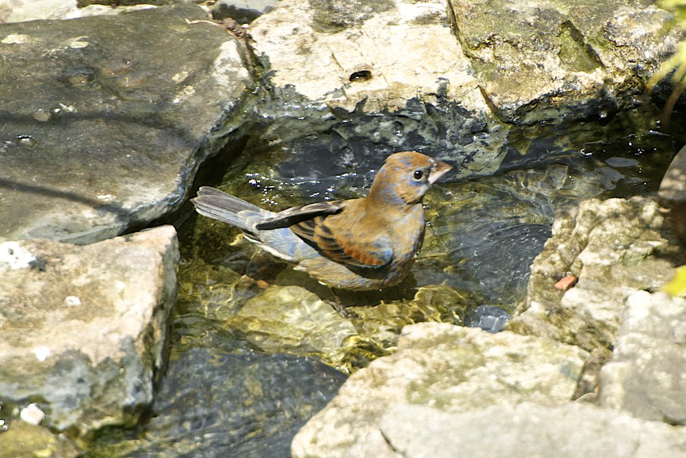 Blue Grosbeak-Female