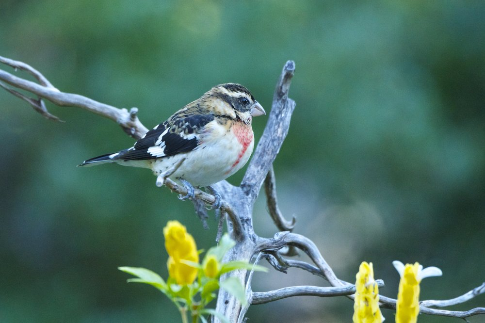 Rose-breasted Grosbeak-Juvenile Male