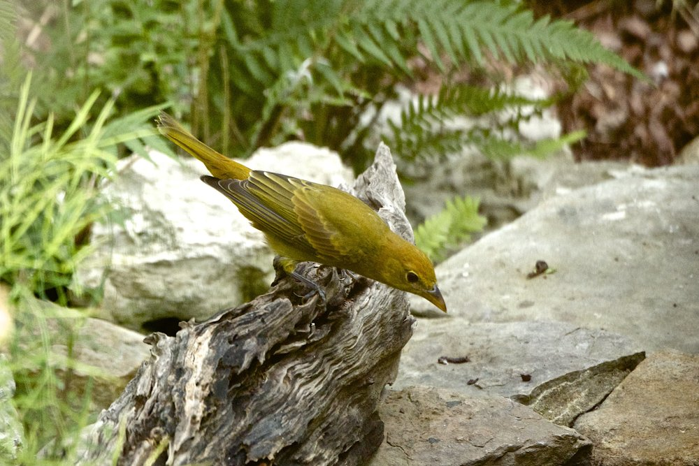 Summer Tanager-Female