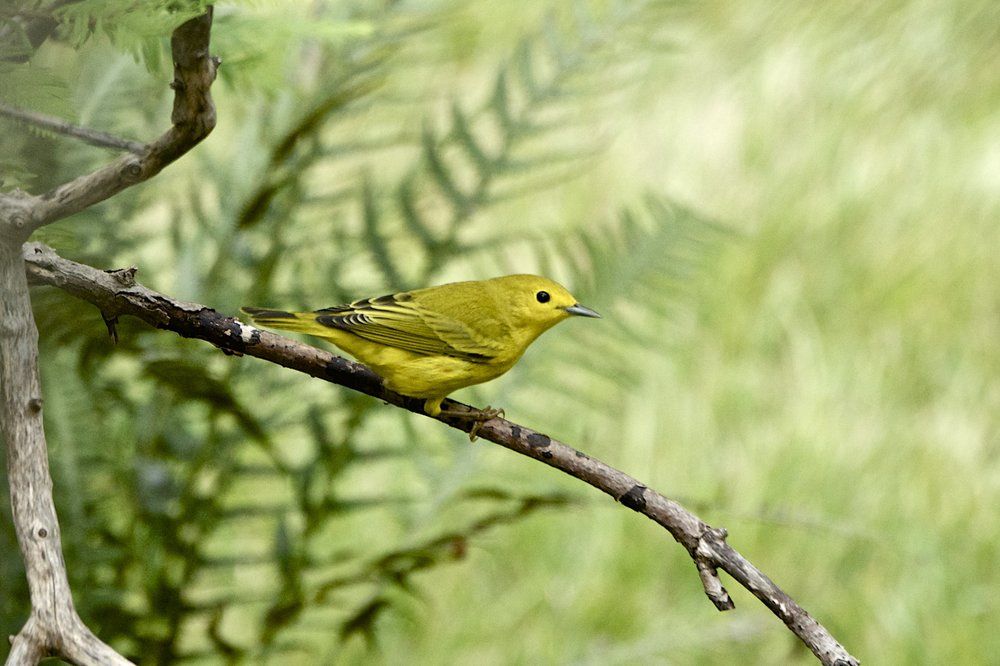Yellow-warbler-Male