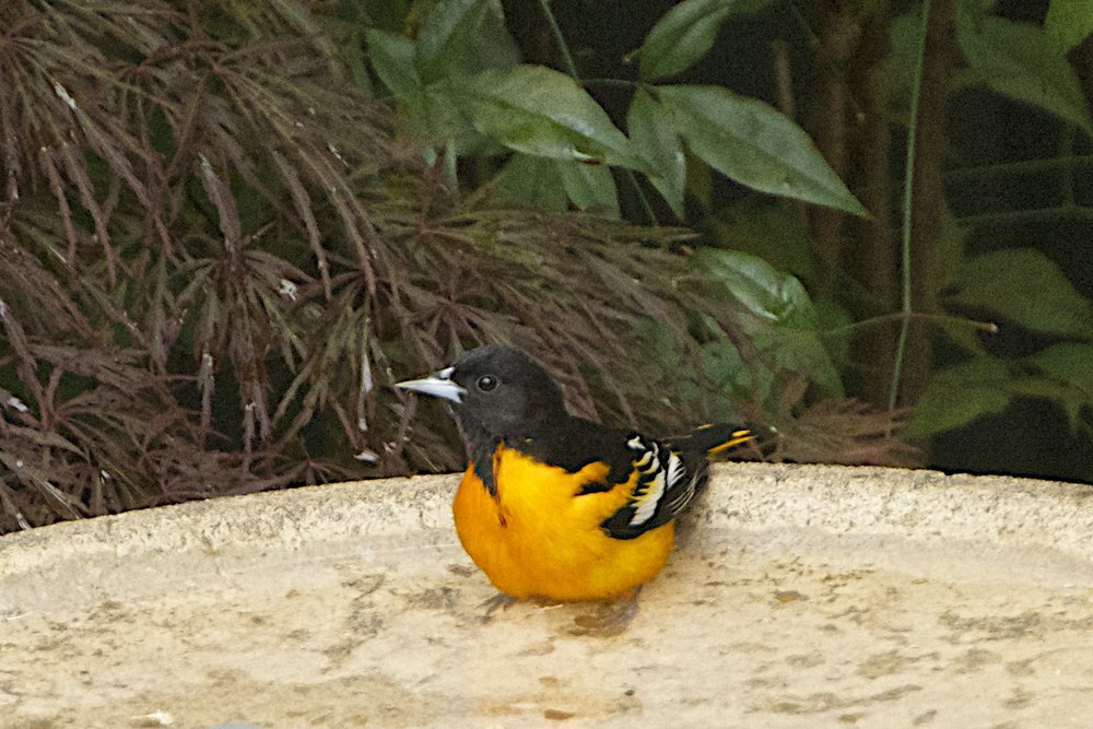 Baltimore Oriole-Male