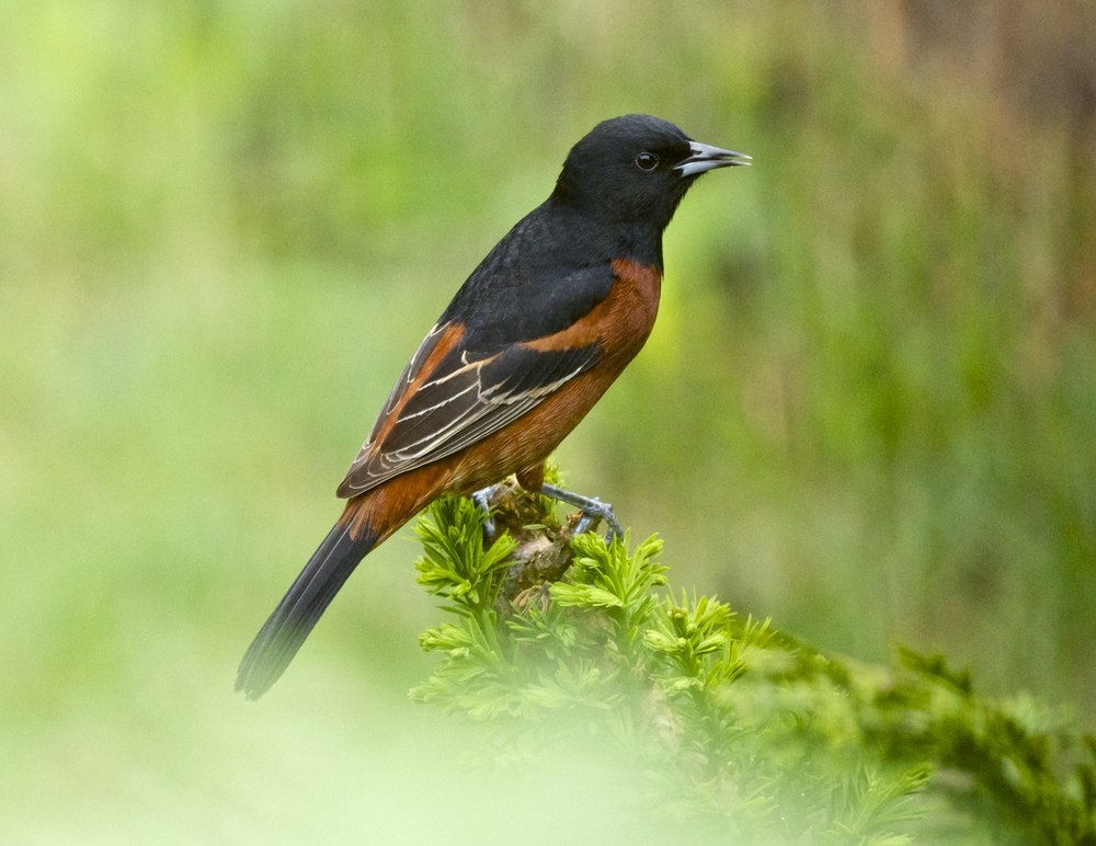 Orchard Oriole-Male