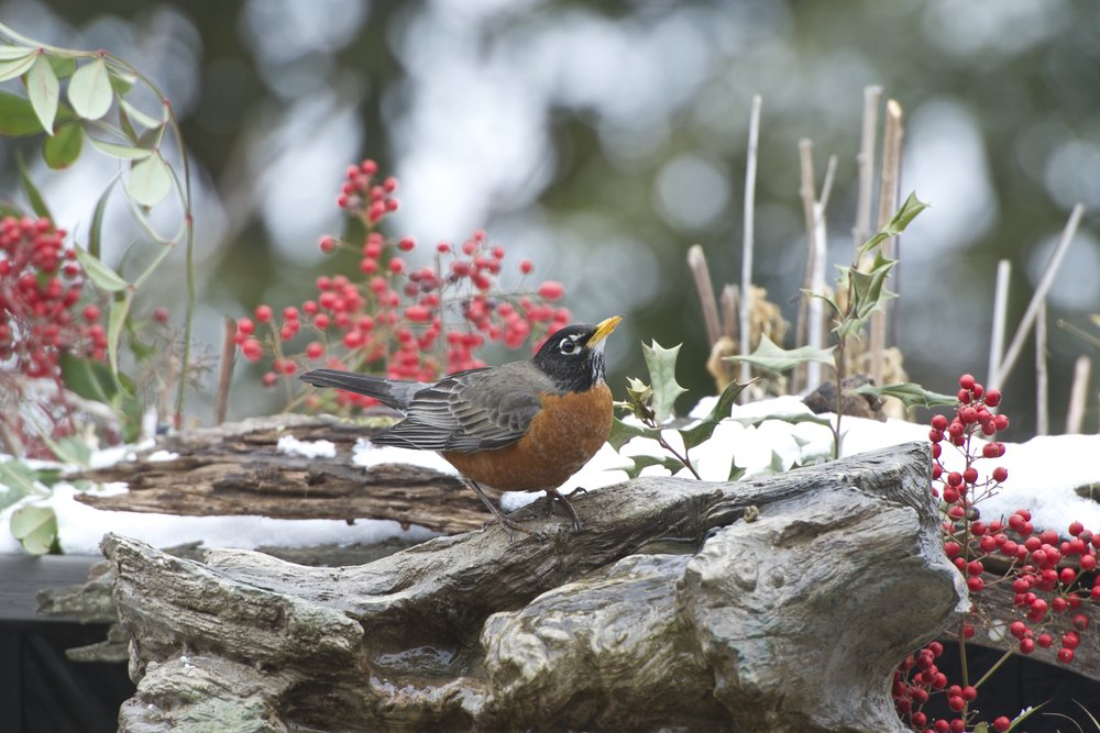American Robin - Version 2.jpg