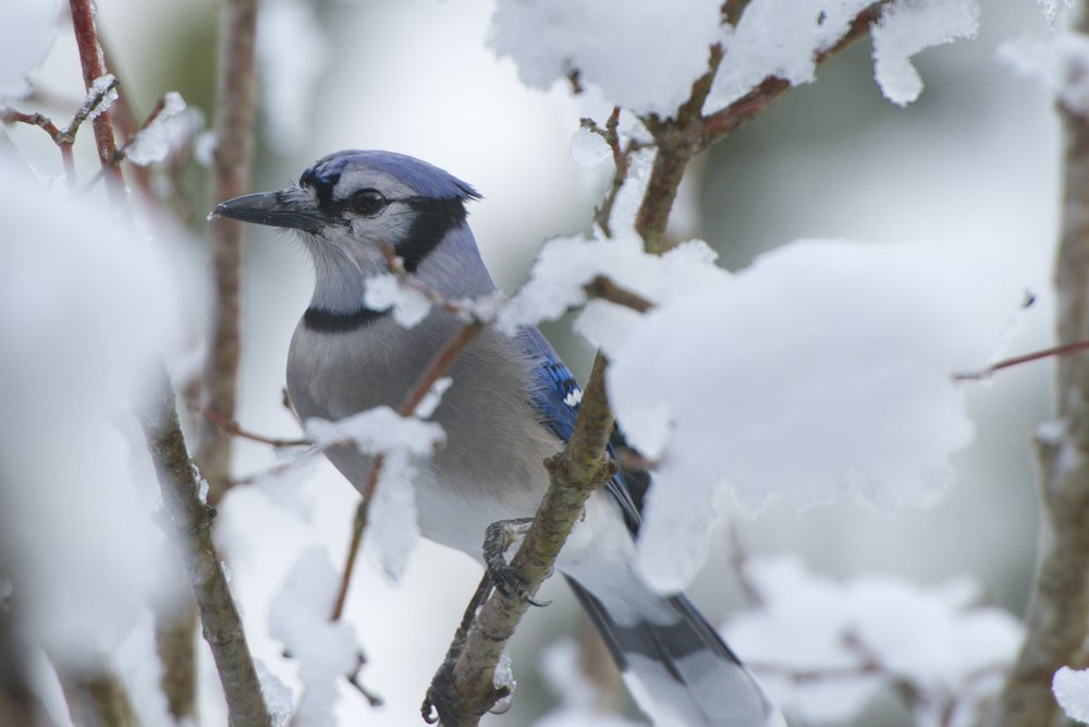 Blue Jay 2 - Version 2.jpg