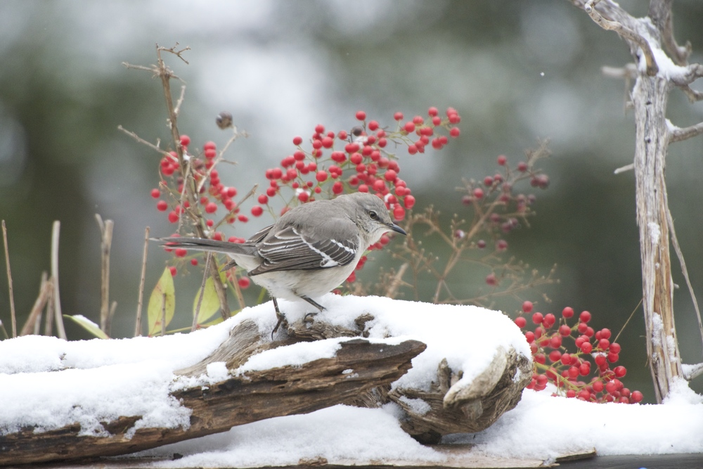 Northern Mockingbird 3.jpg