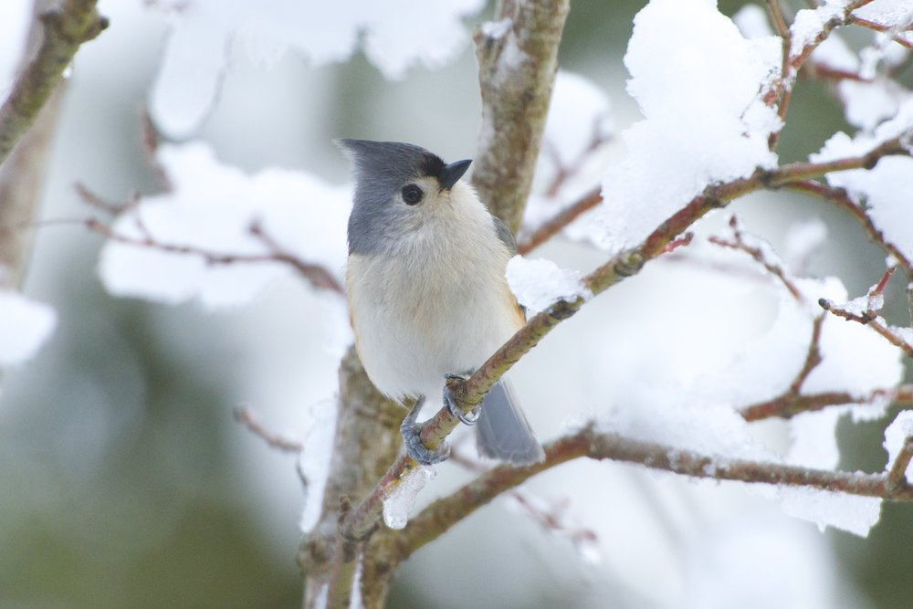 Tufted Titmouse 1 - Version 2.jpg