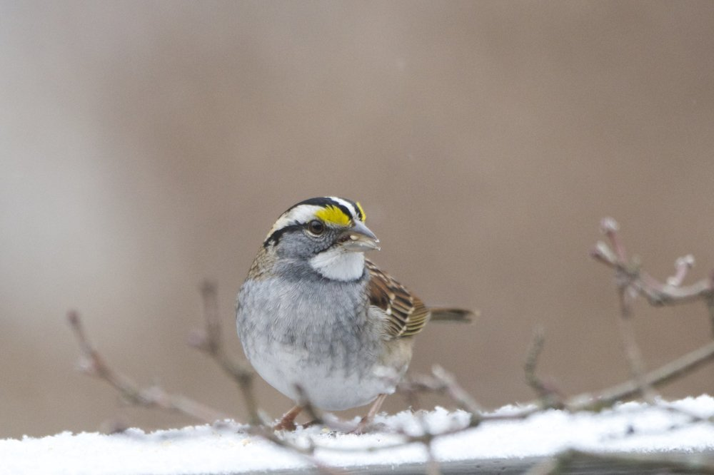 White-throated Sparrow 1 - Version 2.jpg