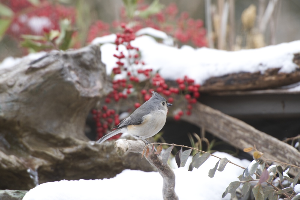 Tufted Titmouse .jpg