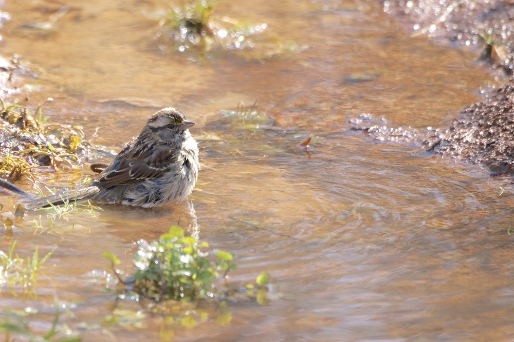 White-throated Sparrow (Winter Bathing)