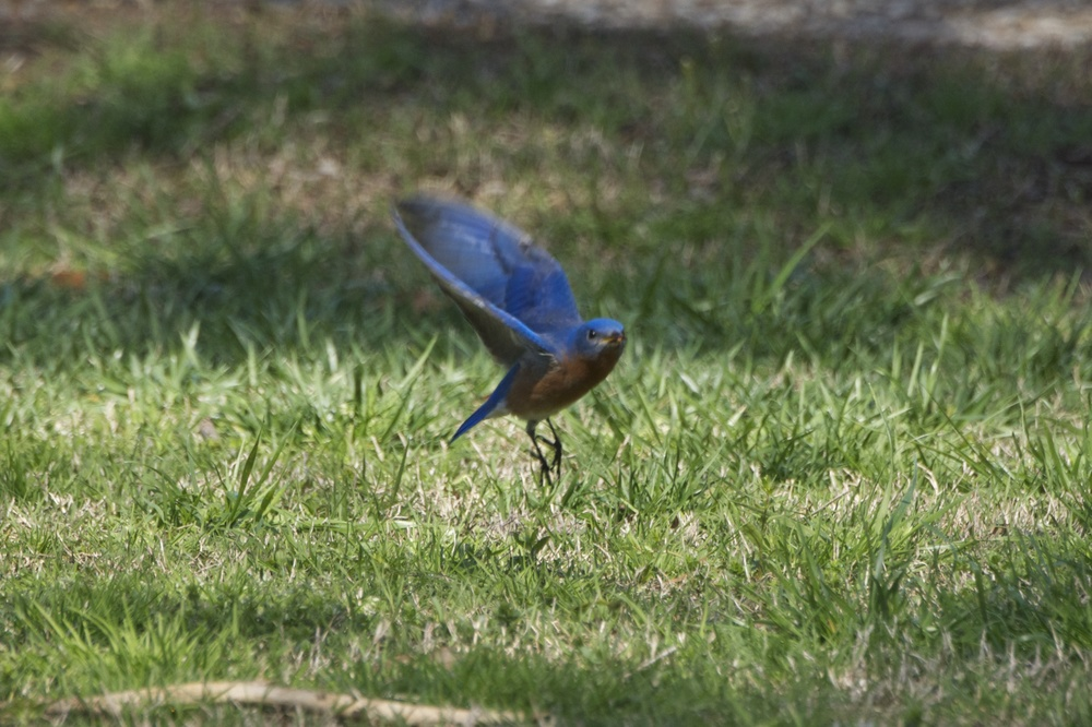 Eastern Bluebird  3 - Version 2.jpg