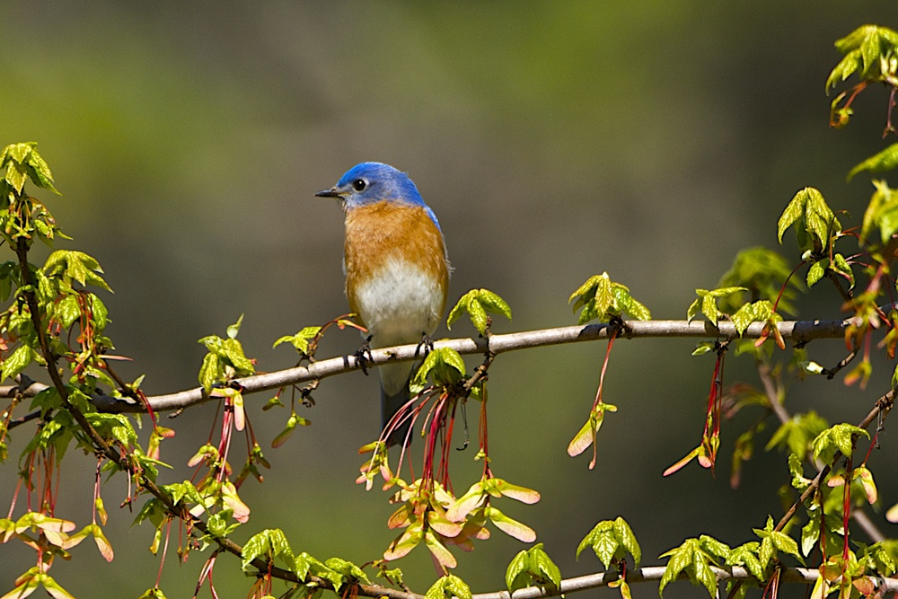 Eastern Bluebird  6 - Version 2.jpg