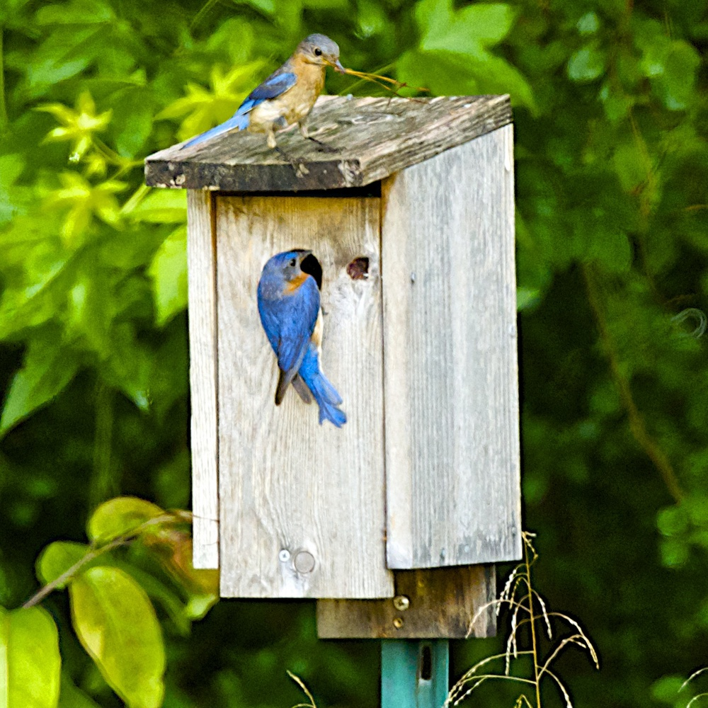 Eastern Bluebird-Nesting_8324 - Version 3.jpg