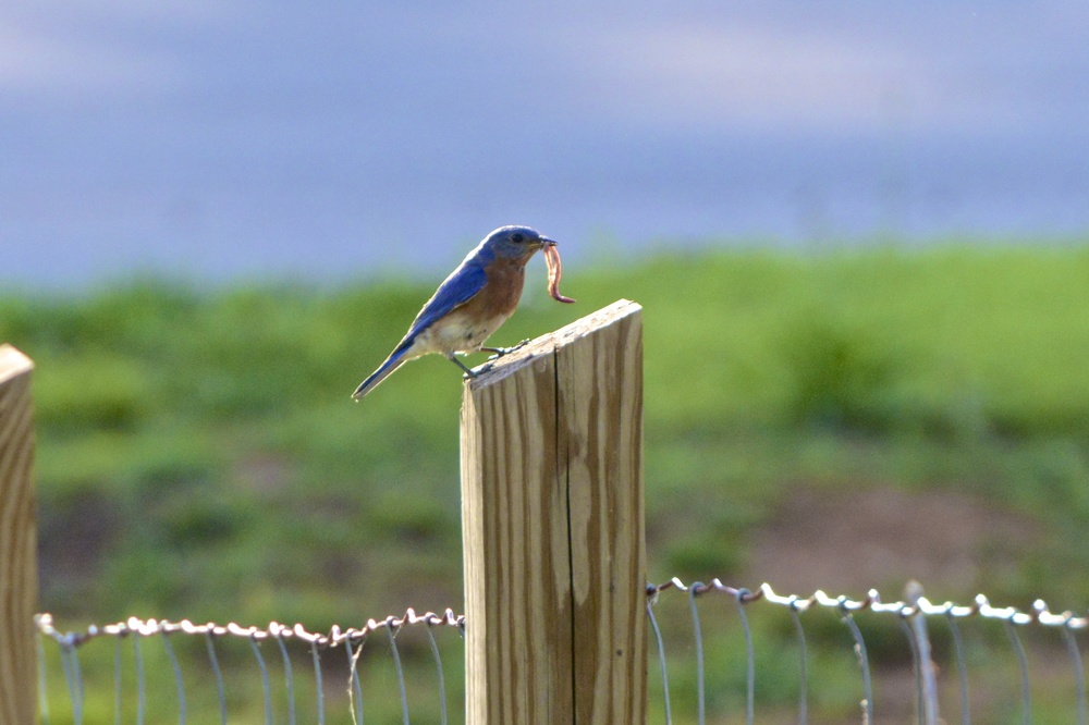 Eastern Bluebird 2 - Version 2.jpg