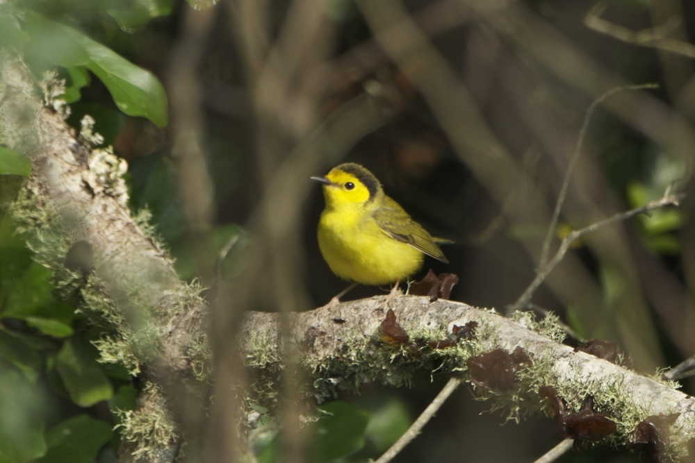 Hooded Warbler-Female