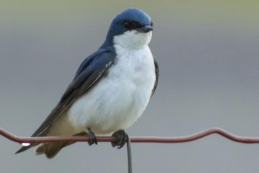 Tree Swallow-Male