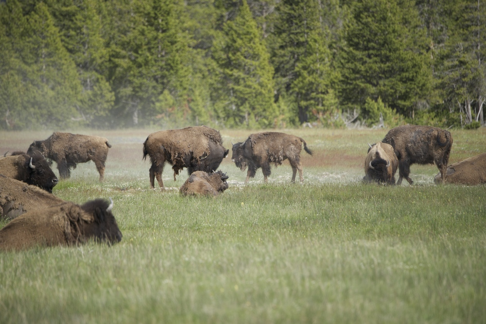 Bison Herd-Dust Bathing_3127.jpg